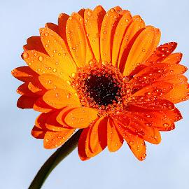 Gerbora n00108 by Gérard CHATENET - Flowers Single Flower