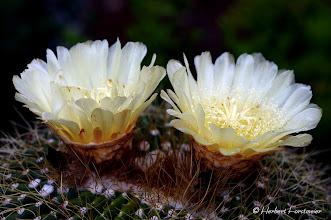 Photo: Kaktus Blüte