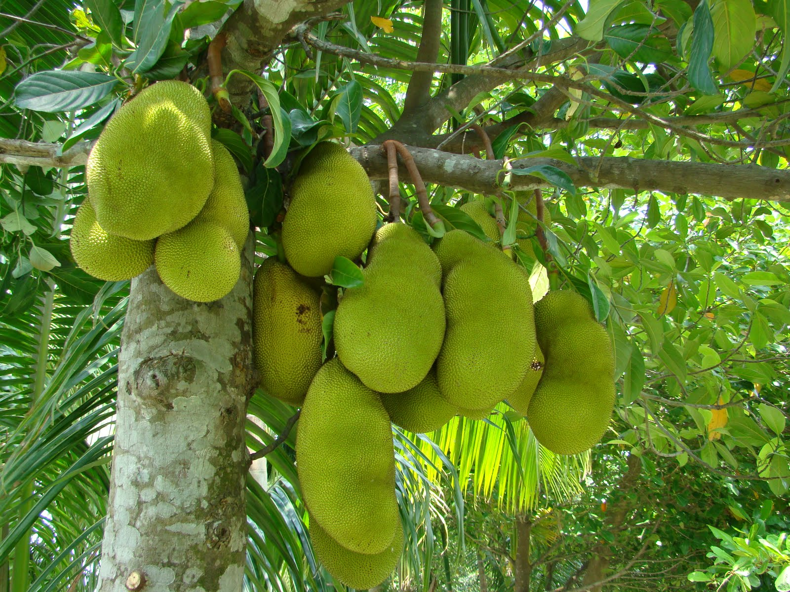 as Artocarpus integrifolia