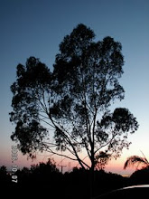 Photo: A tree in Santa Barbara, CA, viewed against the twilight sky.  This tree has optical depth near unity over much of its surface.  Many trees are very optically thick by comparison.  Why not this type?