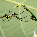 Long-jawed Orbweaver