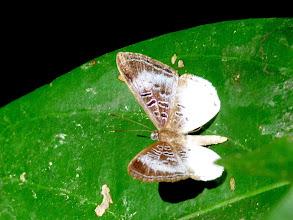 Photo: PERIWINKLE ADELO (HEUBNER'S METALMARK)-adelotypa (livendula) heubnerii--EL CAPRICHO TRAIL