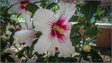 Photo: Hibiscus, Zămoșiță de Siria (Hibiscus syriacus0 din Turda, Str. Trandafirilor - 2019.07.09
