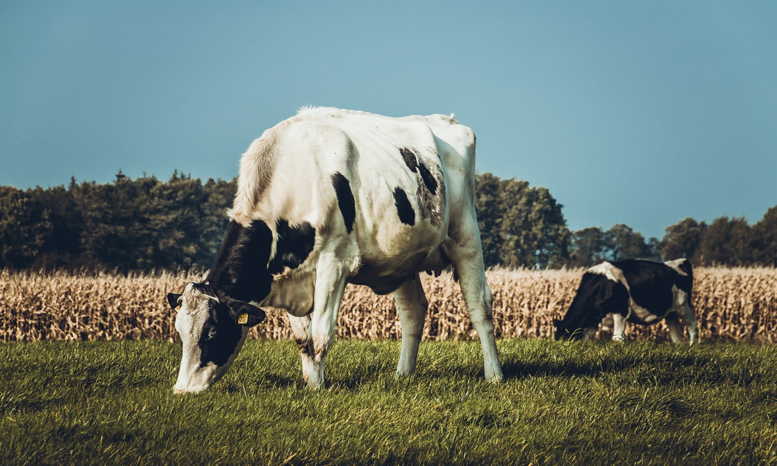 A cow grazing in a pasture.
