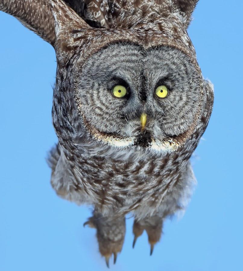 Owl Eyes by Mark Theriot - Animals Birds ( flight, 2013, owl, grey owl, eyes, close )
