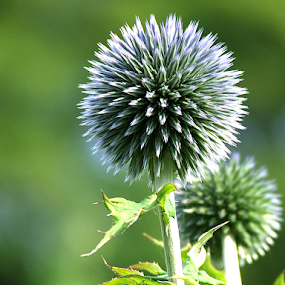 Globe Thistle by Stephen McKibbin - Nature Up Close Flowers - 2011-2013