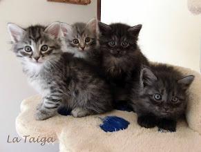 Photo: Foto de familia Quían (black silver tabby), Qitarah (blue silver tabby), Quíron (Smoke) y Quennel (Smoke)