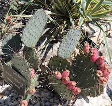 Photo: Opuntia violacea