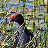 Australasian Swamphen (with chick)