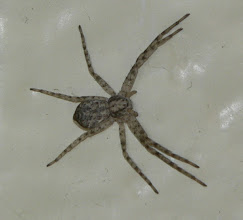 Photo: This is on my wall.  Why???  I am afraid to kill it because if I miss and it falls, I won't know where it is.  How pathetic am I?