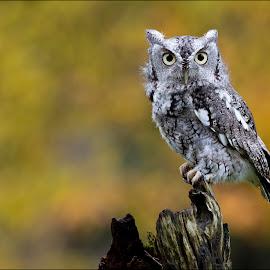 Eastern Screech Owl by Jen St. Louis - Animals Birds ( raptor, owl, bird of prey, bird, screech owl,  )