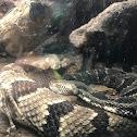 Canebrake rattlesnake