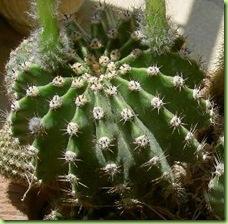 Echinopsis1