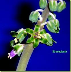 Scilla violacea - Ledebouria socialis - fiore (4a1s)