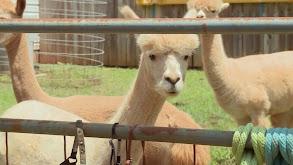Alpacapalooza thumbnail