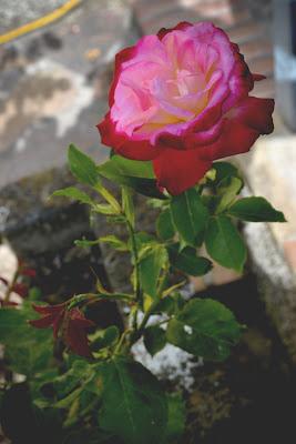 Pink Red Rose di Benedetta Paoletti