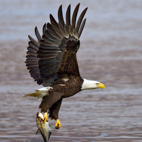 by Herb Houghton - Animals Birds ( eagle, bird of prey, bald eagle, raptor, herbhoughton.com, fishing )