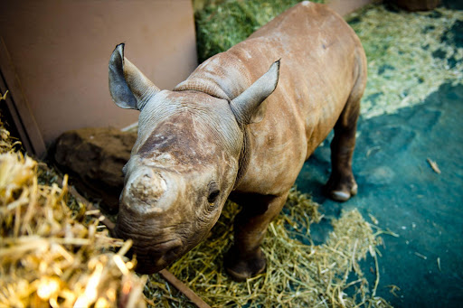 An orphaned rhino calf. File photo.