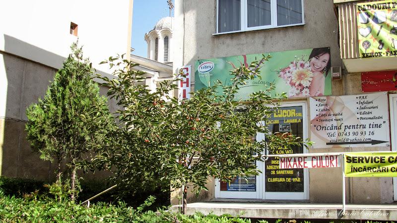 Photo: Cires - de pe Calea Victoriei - (2014.06.09) Cires (prunus avium) - de pe Calea Victoriei - (2014.06.09) album http://ana-maria-catalina.blogspot.ro/2016/05/cires-prunus-avium.html