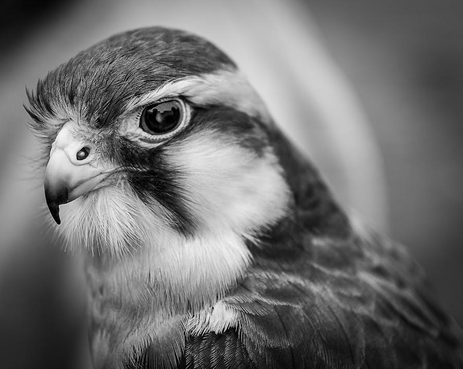 Falcon in B&W by Rafael Aguilo - Black & White Animals ( aves, hunter, halcon, b&w, bird of prey, nature up close, falcon, aves cazadoras, feathers, birds, naturaleza )