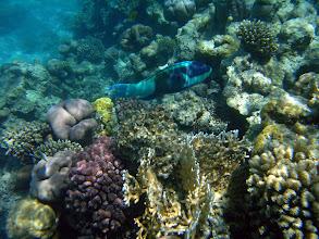 Photo: на рифах живет много разных рыб-попугаев, и постоянно раздается треск, когда они откусывают кусочки кораллов
