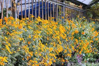 Photo: 拍攝地點: 梅峰-溫帶花卉區 拍攝植物: 芳香萬壽菊 拍攝日期: 2014_11_25_FY