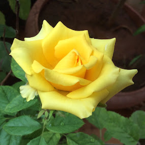 Pleasing yellow by Leelamohan Anantharaju - Flowers Single Flower ( rose, yellow rose, nature, floral  beauty, flower )