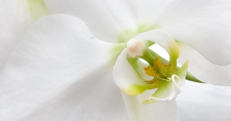 white phalaenopsis orchid di Germano