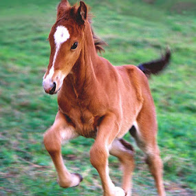 L'il Leaper by Debby  Raskin - Animals Horses ( filly, colt, joy, horse, baby, leap, jump )