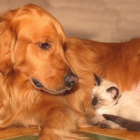 golden love by Brook Kornegay - Animals - Dogs Portraits ( cat, dog, portrait, golden retriever,  )