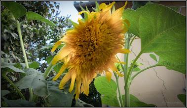 Photo: Floarea-soarelui (Helianthus annuus) - 2017.09.06