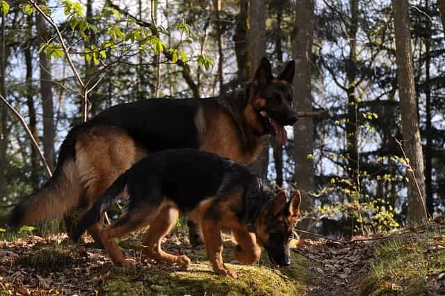 adult and puppy german shepherd walking and sniffing