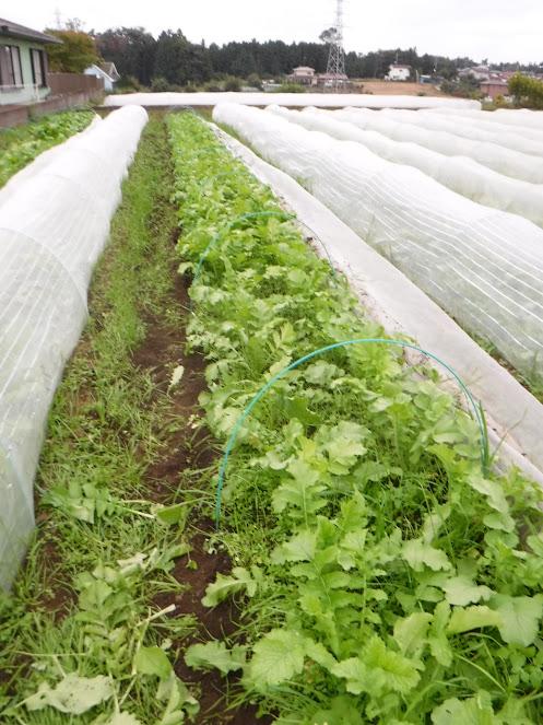 源助大根間引き中。大根も間引き菜はうまい!
