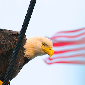 Watch by Capt Jack - Public Holidays July 4th ( amazing, fishing alaska, flight, wow, eagle, alaska, raptor, bering sea, bald eagles, birds, patriot )