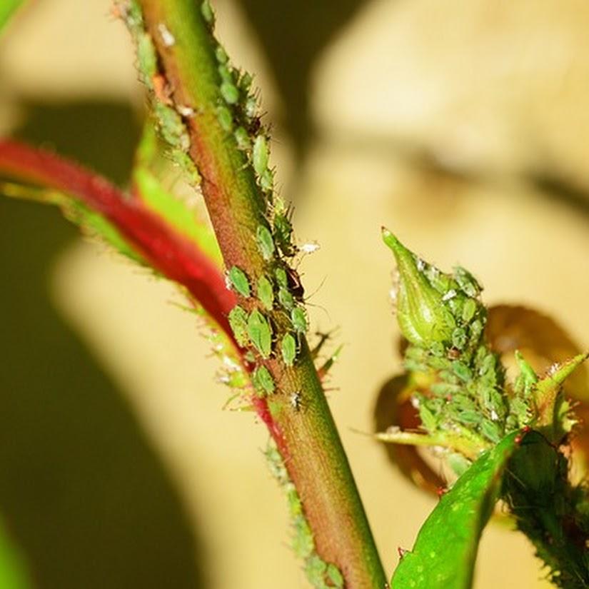 Cómo eliminar los pulgones de tus plantas