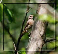 Photo: Rödstjärt hona - phoenicurus phoenicurus - Common Redstart female