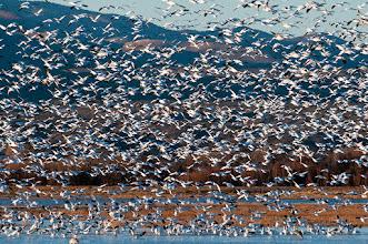 Photo: Snow geese landing