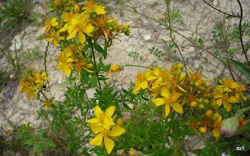 Photo: Közönséges orbáncfű (Hypericum Perforatum) Szent János fű (gyógynövény)
