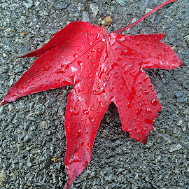Leaf by Dobrin Anca - Nature Up Close Leaves & Grasses ( red, grass, brittany, leaf, courtyard )