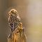 Purple Finch Behind.jpg