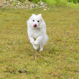 Running Dog by Jonnah Mae  Bongco - Animals - Dogs Running ( japanese spitz, animals, portrait, dog lover, dog )