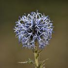 Blue globe-thistle