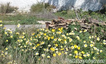 Photo: Vi tar en promenad i omgivningarna och här blommar det rikligt, inte som hemma i Bolnuevo där det mesta är sönderbränt. Hemma finns det mest av den gula av dessa blommor, här finns många vita också. Gult och vitt i en härlig blandning