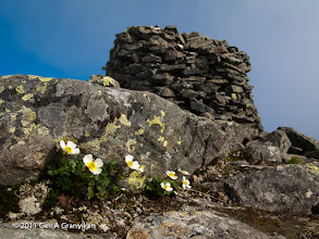 Photo: Flowers growing just by the summit of Tromsdalstinden, a 1238 m high mountain just outside Tromsø