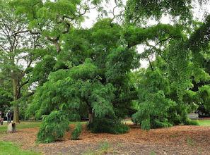 Photo: Robinia pseudoacacia (Black Locust tree) Kew - Royal Botanical Gardens