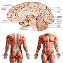 Anatomy New plus ++ icon