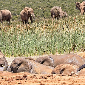 Family by Anne-Marie  Fuller  - Animals Other Mammals ( big 5, nature, nature up close, elephants, nature photography, wildlife,  )