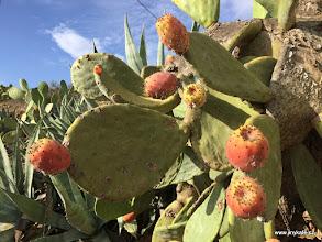 Photo: Fuerteventura - sladke plody kaktusu