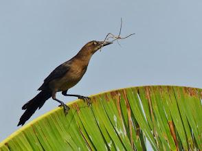 Photo: Dohlengrackel (Quiscalus mexicanus) Weibchen beim Nestbau