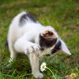 discovering the world by Dominik Lalic - Animals - Cats Playing ( playing, white flower, cat, black and white, play, kitty, discovery, playtime, flower,  )